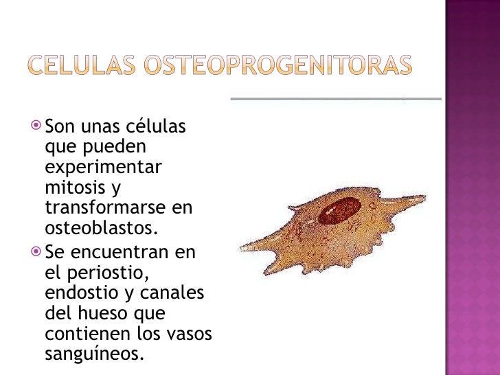 <ul><li>Son unas células que pueden experimentar mitosis y transformarse en osteoblastos. </li></ul><ul><li>Se encuentran ...