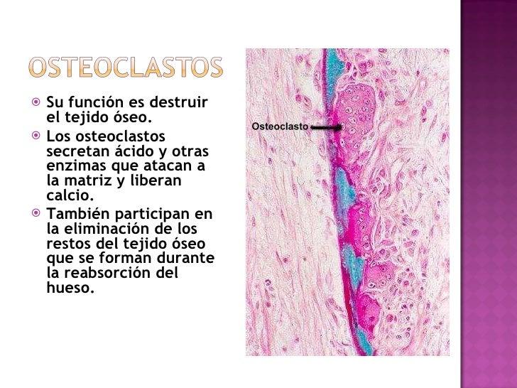 <ul><li>Su función es destruir el tejido óseo.  </li></ul><ul><li>Los osteoclastos secretan ácido y otras enzimas que atac...
