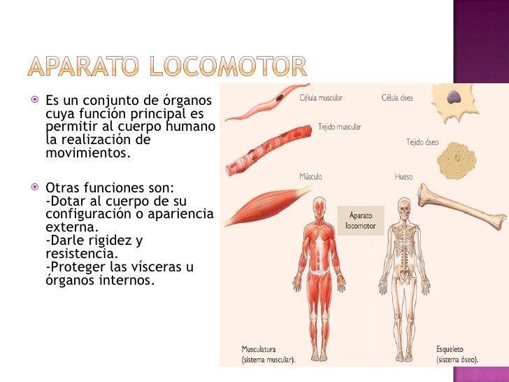 <ul><li>Es un conjunto de órganos cuya función principal es permitir al cuerpo humano la realización de movimientos. </li>...