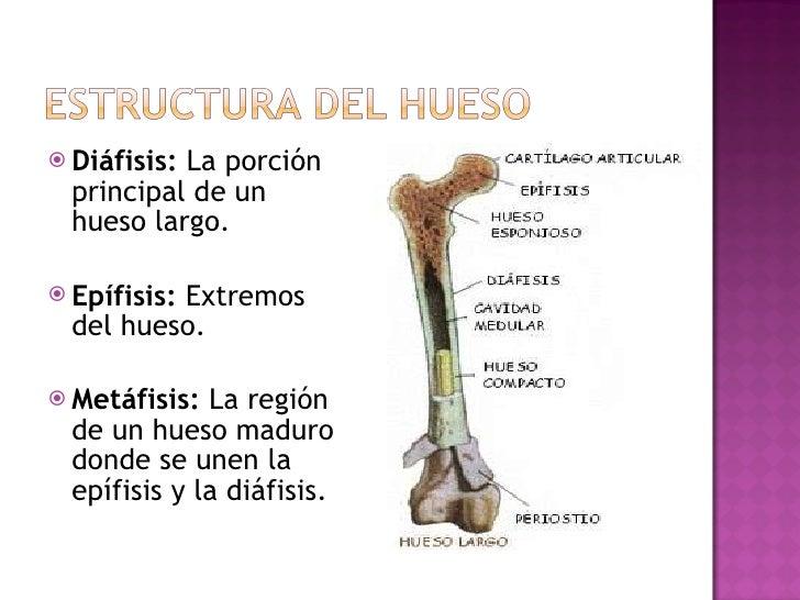 <ul><li>Diáfisis:  La porción principal de un  hueso largo. </li></ul><ul><li>Epífisis:  Extremos del hueso. </li></ul><ul...