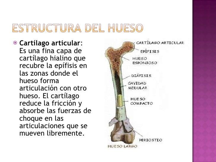 <ul><li>Cartílago articular : Es una fina capa de cartílago hialino que recubre la epífisis en las zonas donde el hueso fo...