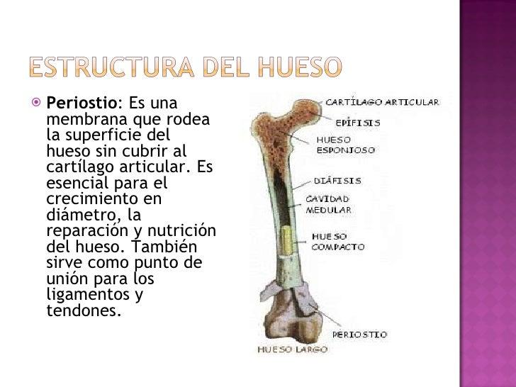 <ul><li>Periostio : Es una membrana que rodea la superficie del hueso sin cubrir al cartílago articular. Es esencial para ...