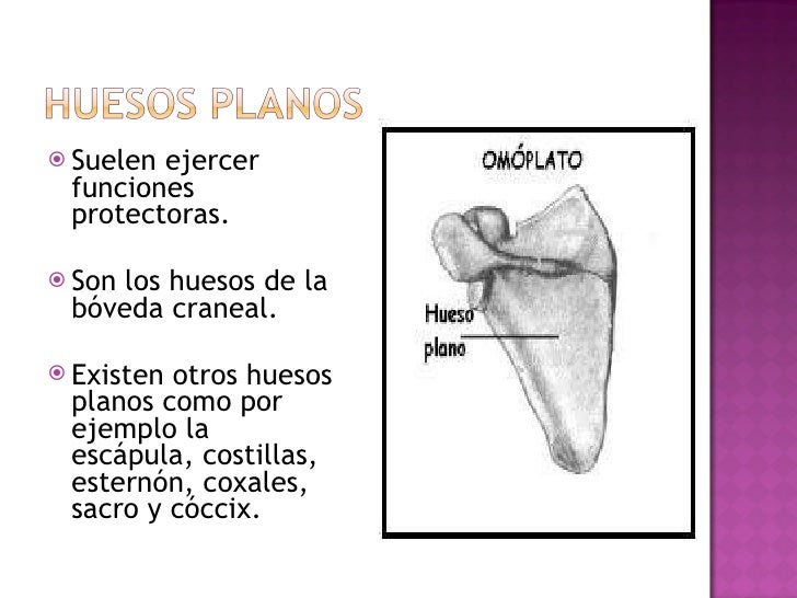 <ul><li>Suelen ejercer funciones protectoras. </li></ul><ul><li>Son los huesos de la bóveda craneal. </li></ul><ul><li>Exi...