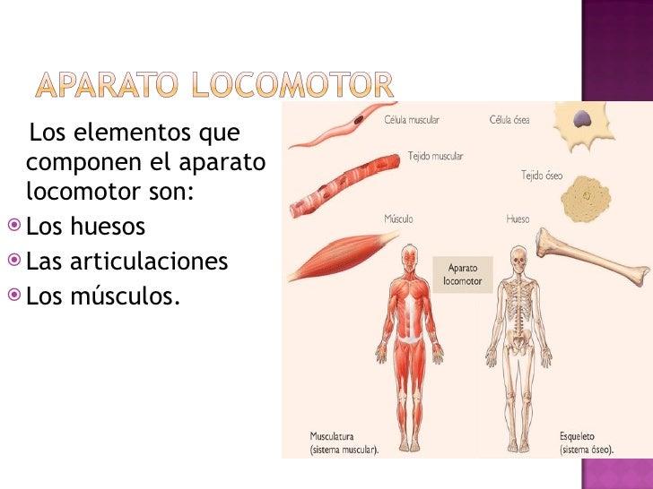 <ul><li>Los elementos que componen el aparato locomotor son: </li></ul><ul><li>Los huesos </li></ul><ul><li>Las articulaci...