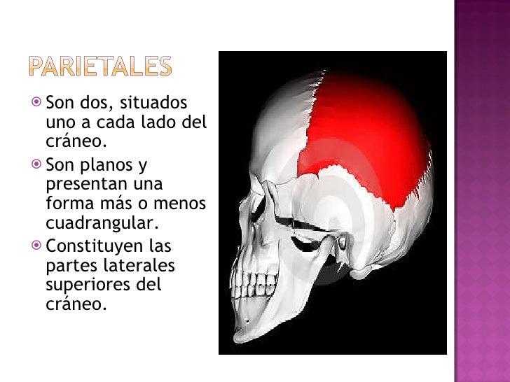 <ul><li>Son dos, situados uno a cada lado del cráneo. </li></ul><ul><li>Son planos y presentan una forma más o menos cuadr...
