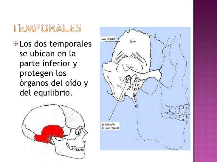 <ul><li>Los dos temporales se ubican en la parte inferior y protegen los órganos del oído y del equilibrio.  </li></ul>