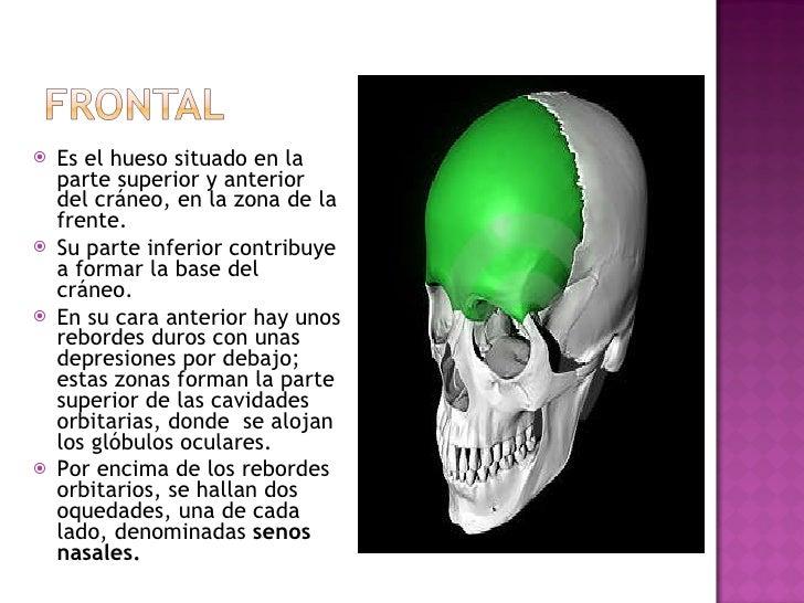 <ul><li>Es el hueso situado en la parte superior y anterior del cráneo, en la zona de la frente.  </li></ul><ul><li>Su par...