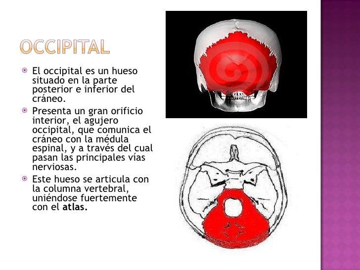 <ul><li>El occipital es un hueso situado en la parte posterior e inferior del cráneo. </li></ul><ul><li>Presenta un gran o...