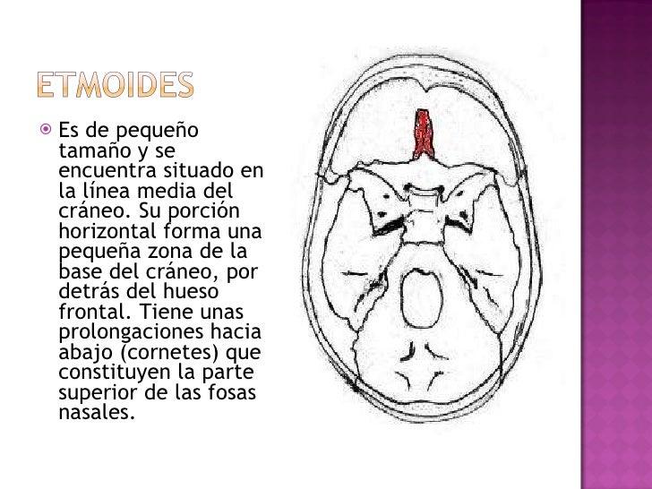 <ul><li>Es de pequeño tamaño y se encuentra situado en la línea media del cráneo. Su porción horizontal forma una pequeña ...