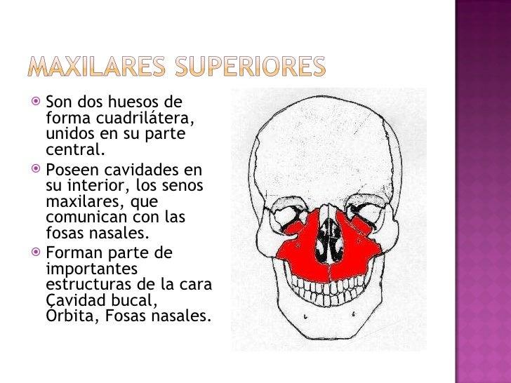 <ul><li>Son dos huesos de forma cuadrilátera, unidos en su parte central.  </li></ul><ul><li>Poseen cavidades en su interi...