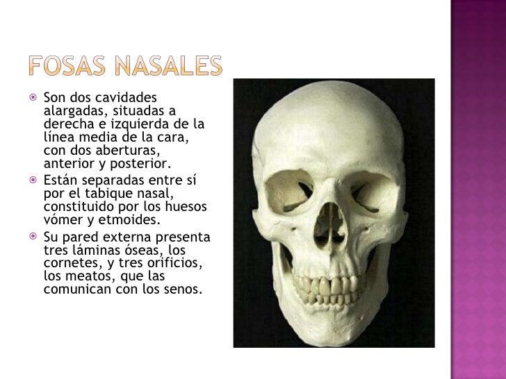 <ul><li>Son dos cavidades alargadas, situadas a derecha e izquierda de la línea media de la cara, con dos aberturas, anter...