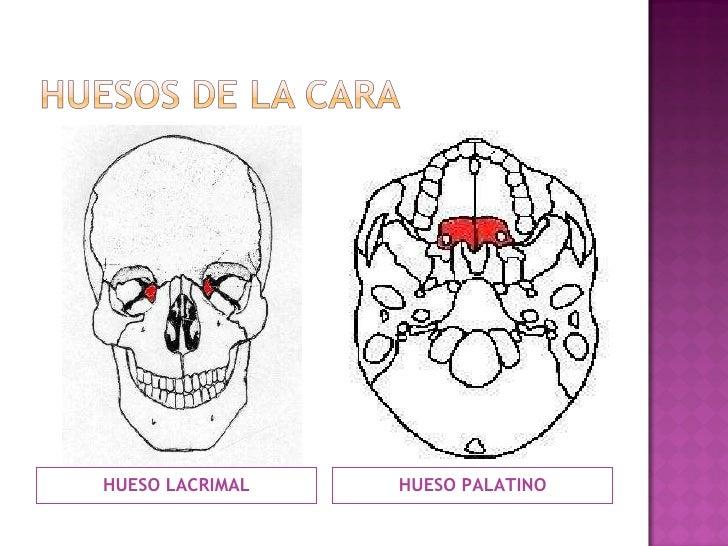 <ul><li>HUESO LACRIMAL </li></ul><ul><li>HUESO PALATINO </li></ul>