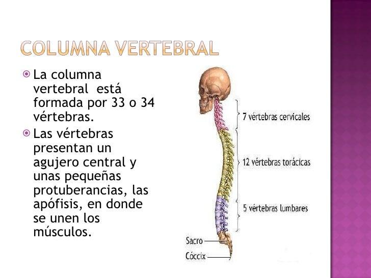 <ul><li>La columna vertebral  está formada por 33 o 34 vértebras.  </li></ul><ul><li>Las vértebras presentan un agujero ce...