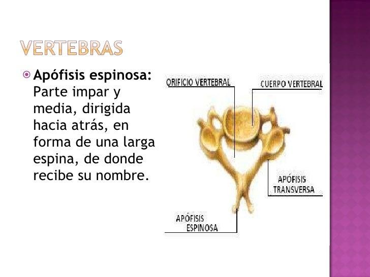 <ul><li>Apófisis espinosa: Parte impar y media, dirigida hacia atrás, en forma de una larga espina, de donde recibe su nom...