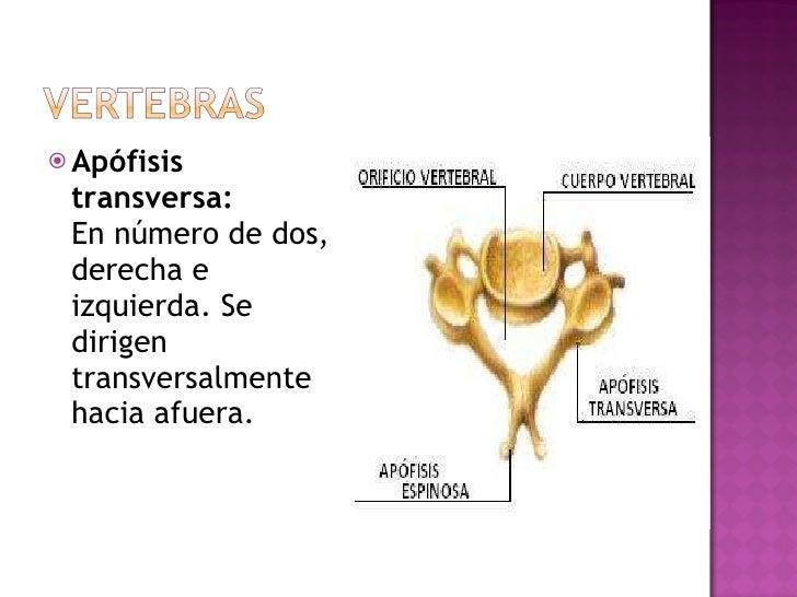 <ul><li>Apófisis transversa: En número de dos, derecha e izquierda. Se dirigen transversalmente hacia afuera. </li></ul>