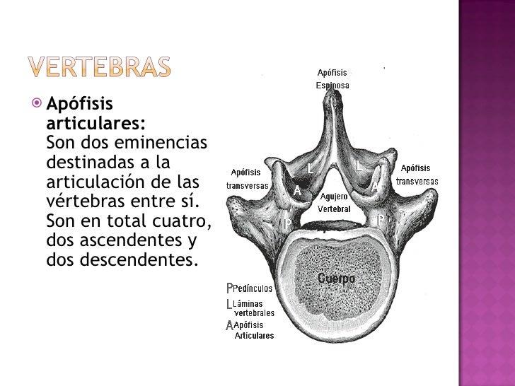 <ul><li>Apófisis articulares:   Son dos eminencias destinadas a la articulación de las vértebras entre sí. Son en total cu...