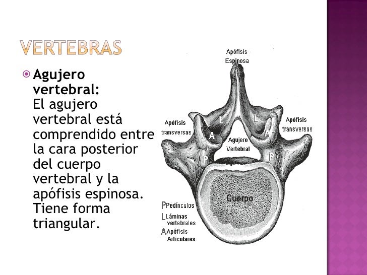 <ul><li>Agujero vertebral: El agujero vertebral está comprendido entre la cara posterior del cuerpo vertebral y la apófisi...