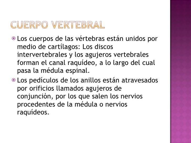 <ul><li>Los cuerpos de las vértebras están unidos por medio de cartílagos: Los discos intervertebrales y los agujeros vert...