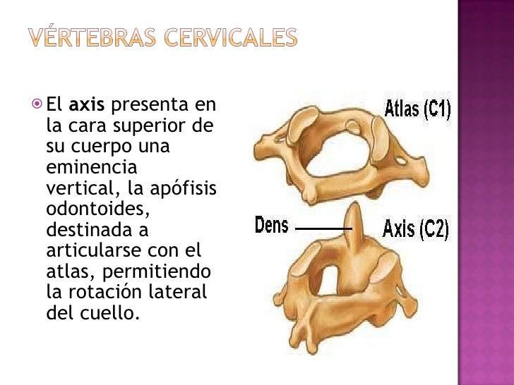 <ul><li>El  axis  presenta en la cara superior de su cuerpo una eminencia vertical, la apófisis odontoides, destinada a ar...