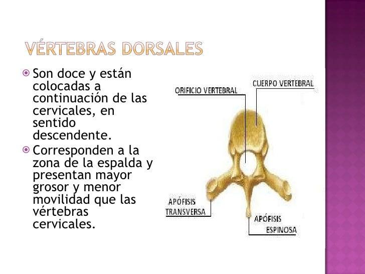 <ul><li>Son doce y están colocadas a continuación de las cervicales, en sentido descendente. </li></ul><ul><li>Corresponde...