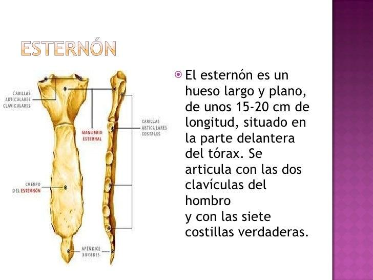 <ul><li>El esternón es un hueso largo y plano, de unos 15-20 cm de longitud, situado en la parte delantera del tórax. Se a...