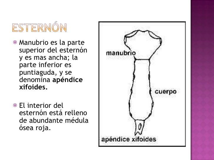 <ul><li>Manubrio es la parte superior del esternón y es mas ancha; la parte inferior es puntiaguda, y se denomina  apéndic...