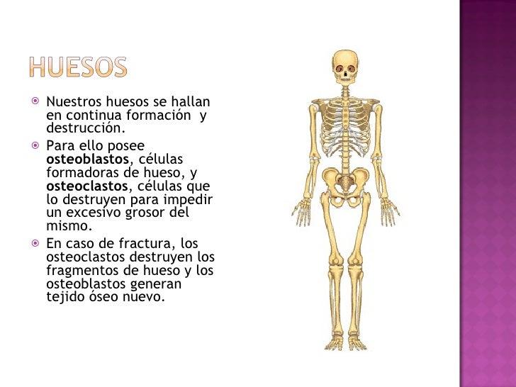 <ul><li>Nuestros huesos se hallan en continua formación  y destrucción. </li></ul><ul><li>Para ello posee  osteoblastos , ...