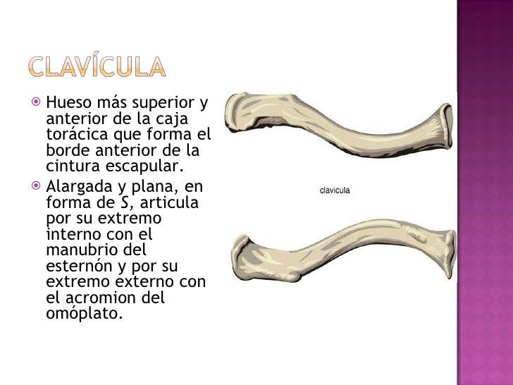 <ul><li>Hueso más superior y anterior de la caja torácica que forma el borde anterior de la cintura escapular. </li></ul><...