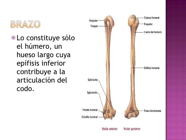 <ul><li>Lo constituye sólo el húmero, un hueso largo cuya epífisis inferior contribuye a la articulación del codo. </li></ul>