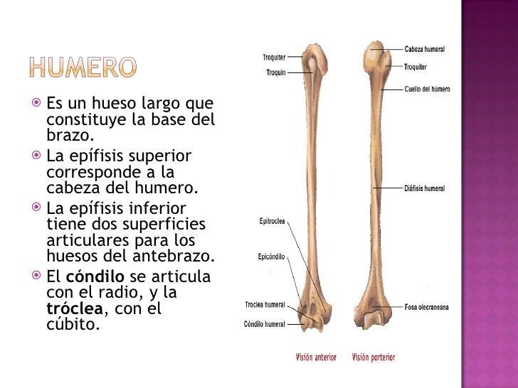 <ul><li>Es un hueso largo que constituye la base del brazo.  </li></ul><ul><li>La epífisis superior corresponde a la cabez...