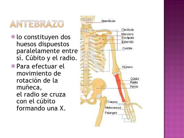 <ul><li>lo constituyen dos huesos dispuestos paralelamente entre sí. Cúbito y el radio. </li></ul><ul><li>Para efectuar el...