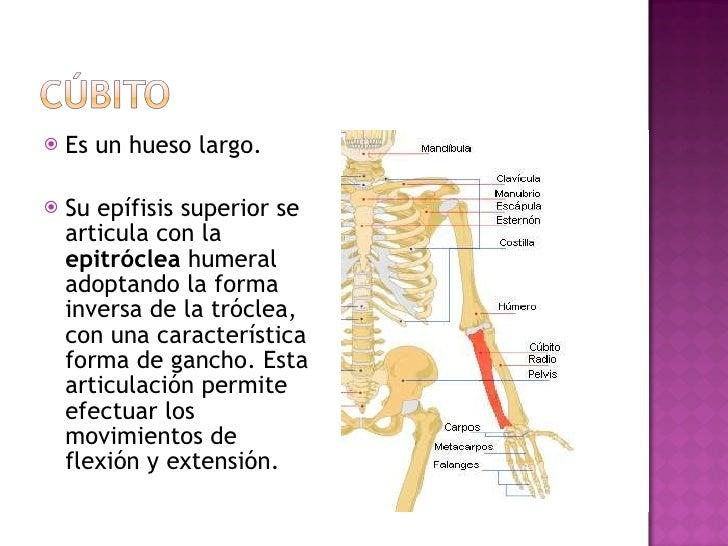 <ul><li>Es un hueso largo. </li></ul><ul><li>Su epífisis superior se articula con la  epitróclea  humeral adoptando la for...