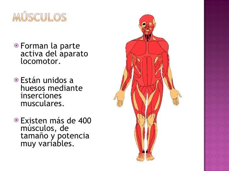 <ul><li>Forman la parte activa del aparato locomotor.  </li></ul><ul><li>Están unidos a huesos mediante inserciones muscul...