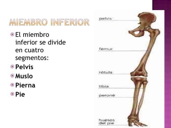 <ul><li>El miembro inferior se divide en cuatro segmentos: </li></ul><ul><li>Pelvis </li></ul><ul><li>Muslo </li></ul><ul>...