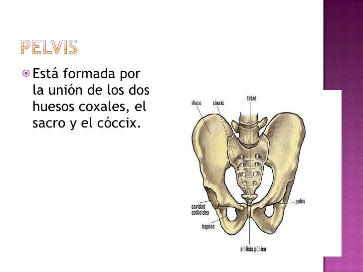 <ul><li>Está formada por la unión de los dos huesos coxales, el sacro y el cóccix. </li></ul>