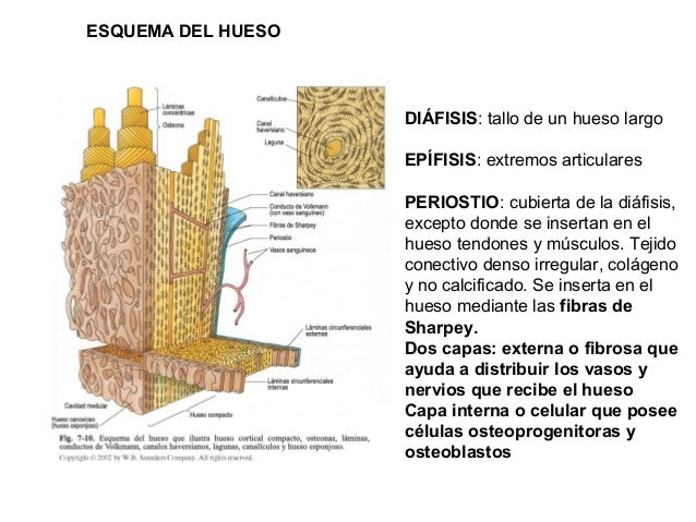 Sistema oseo y sus tejidos