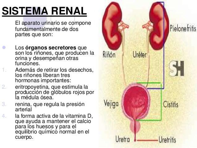 sistema-renal-2-638.jpg?cb=1363109706