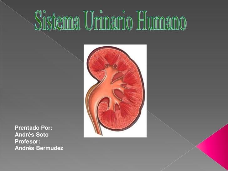 Sistema Urinario Humano<br />Prentado Por:<br />Andrés Soto<br />Profesor:<br />Andrés Bermudez<br />