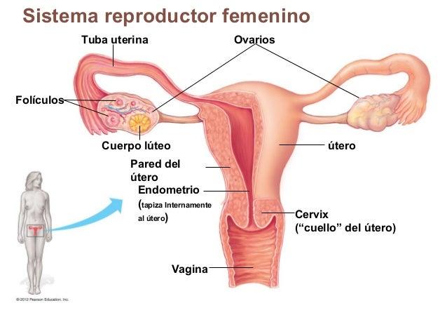 La eccema de los órganos genitales femeninos - Aparato Reproductor ...
