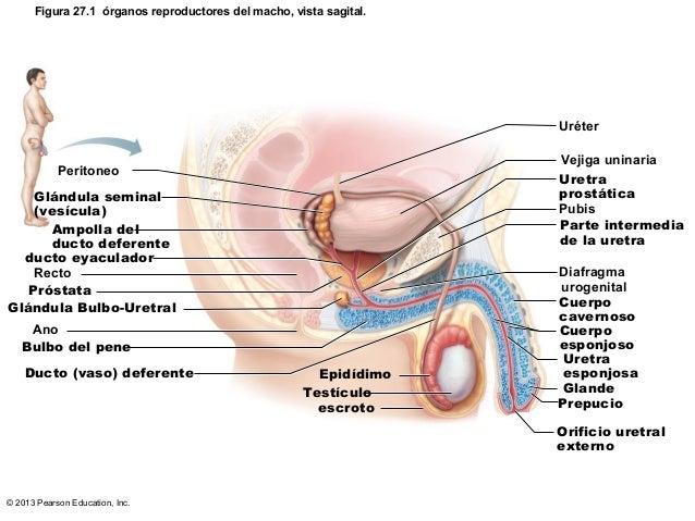 Sistema reproductor-2013