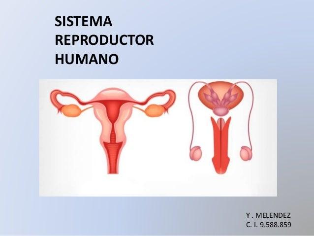 SISTEMA REPRODUCTOR HUMANO Y . MELENDEZ C. I. 9.588.859