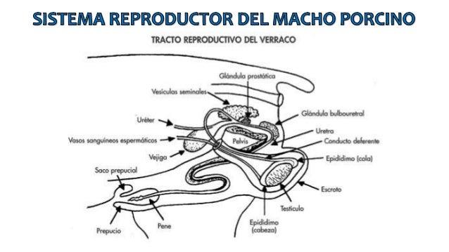 Sistema reproductor de macho y hembra porcinos
