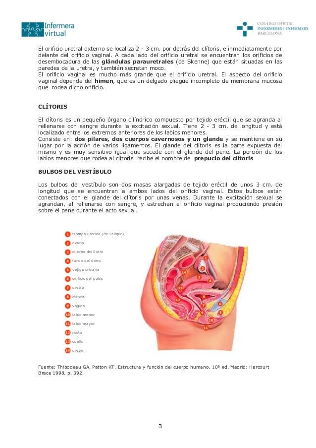 3 El orificio uretral externo se localiza 2 - 3 cm. por detrás del clítoris, e inmediatamente por delante del orificio vag...