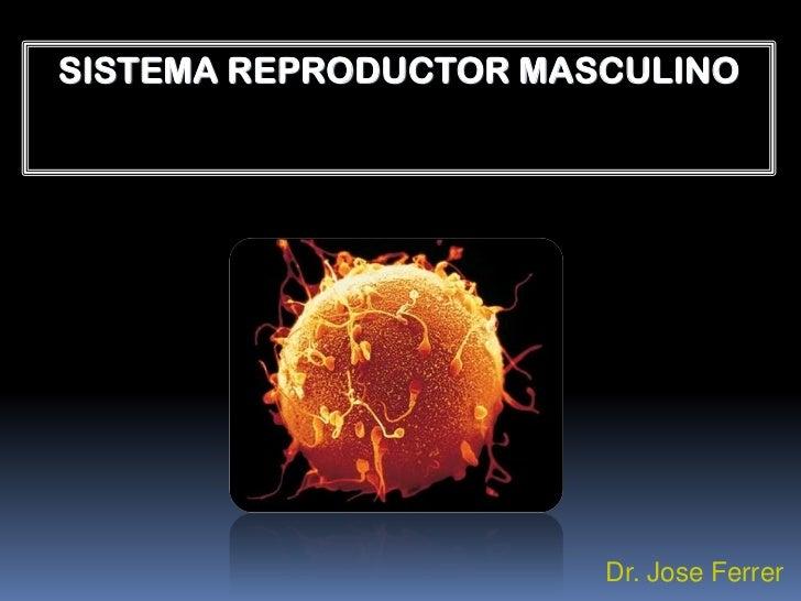 SISTEMA REPRODUCTOR MASCULINO                       Dr. Jose Ferrer