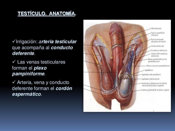 Fantástico Anatomía Del órgano Reproductor Masculino Ornamento ...