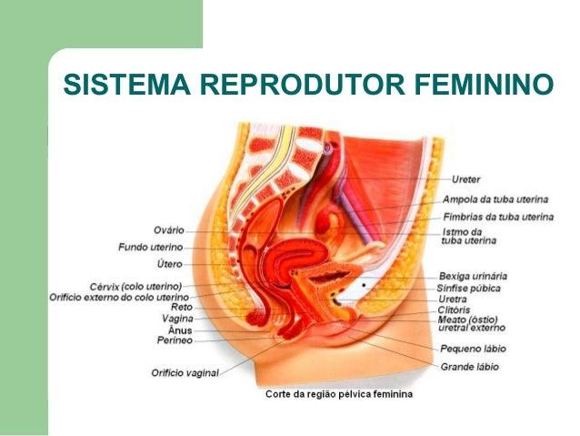Sistema reprodutor feminino49 e 51 Slide 3