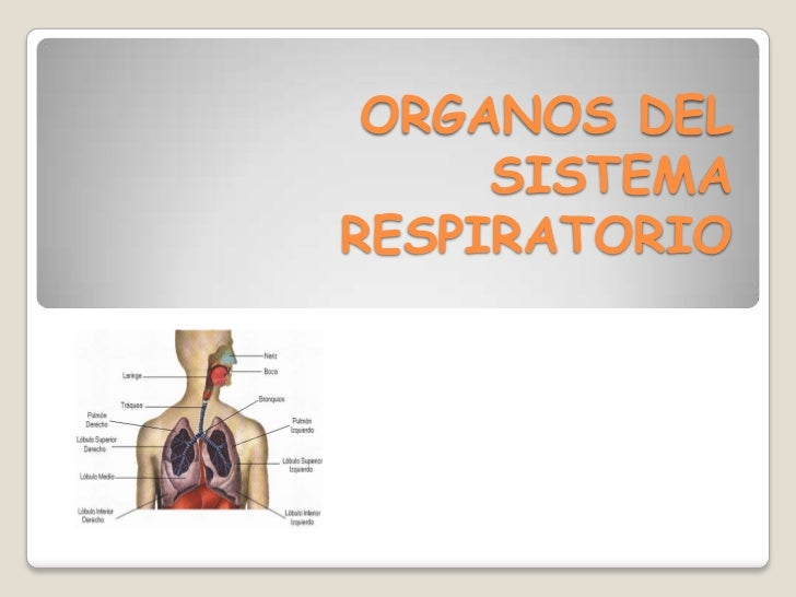 ORGANOS DEL SISTEMA RESPIRATORIO<br />