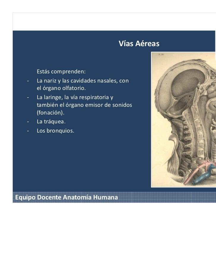Perfecto Anatomía De La Fonación Colección de Imágenes - Imágenes de ...