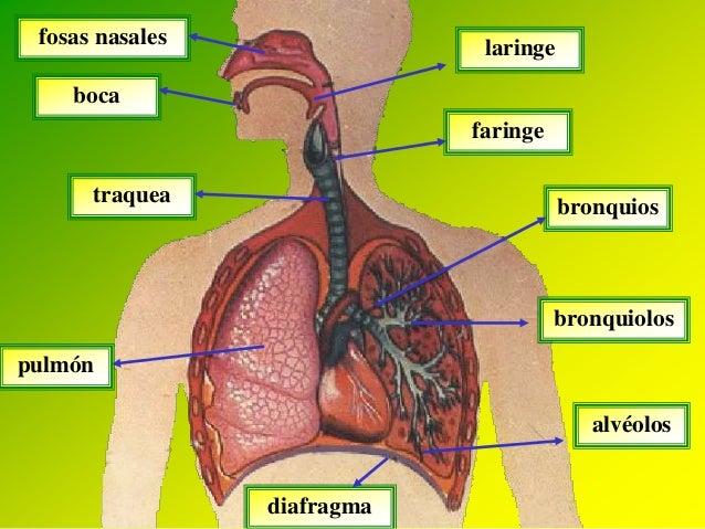 Sistema respiratorio: anatomía y fisiologia