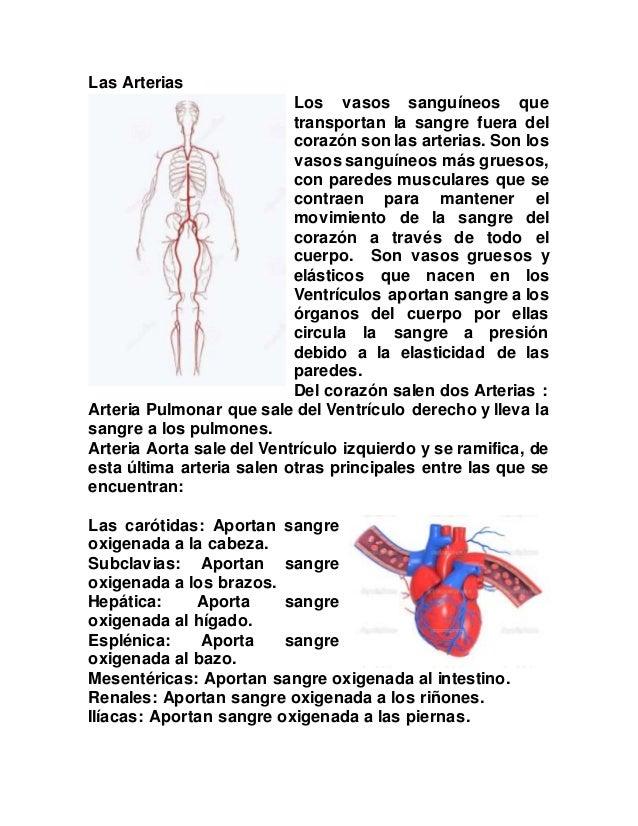 Sistema respiratorio y circulatorio del cuerpo humano.